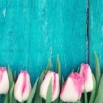 pink tulips against a teal wall